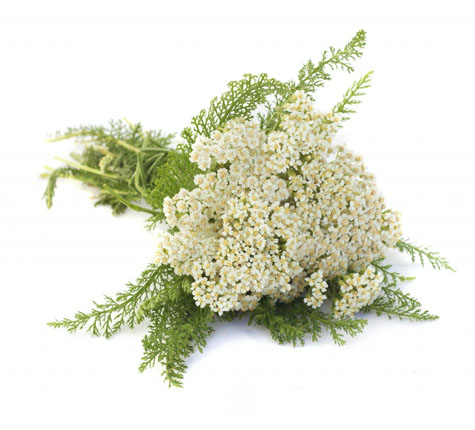 detria-common-yarrow-super-herbs
