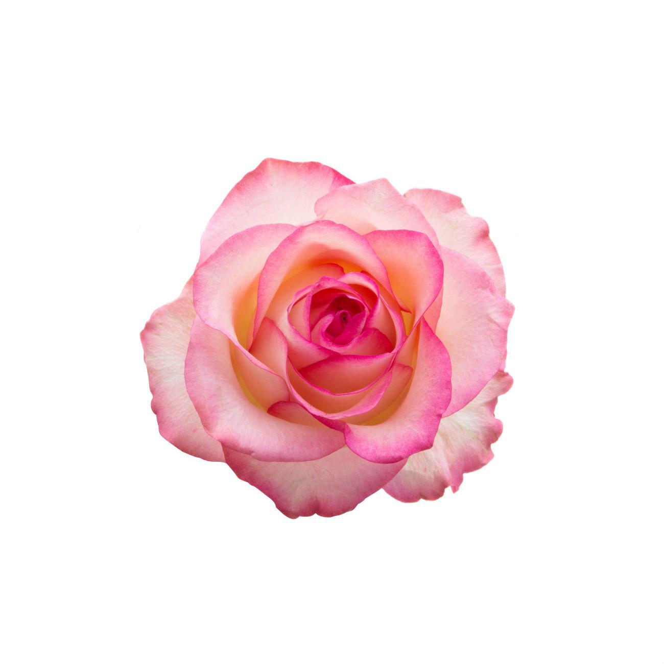 Ruusunterälehtiuute ja rose otto 3